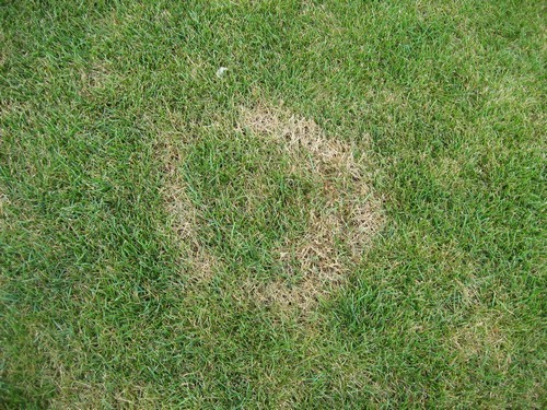 Necrotic Ring Spot Lawn Fungus Disease